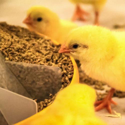 bird-animal-feed